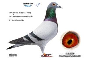 Cyprien Meskens Pigeon